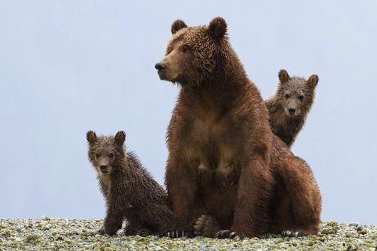 bears5346e4ab0fcd0.jpg