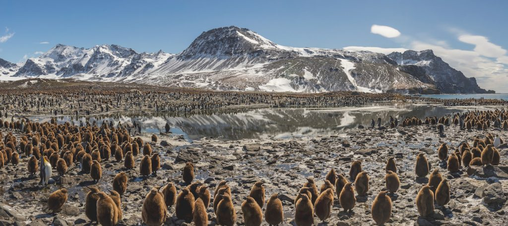 A huge colony of king penguins. This beach contains one of the largest penguin colonies in the world, and one of the densest aggregations of life on the planet. Courtesy Netflix.